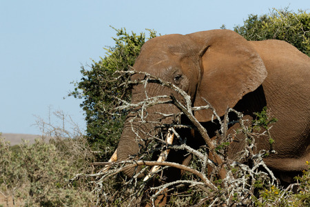 Bush Elephant hiding behind the branches in the field. Stock Photo