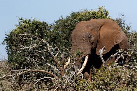 Bush Elephant standing in the field with his tusk in the branches.