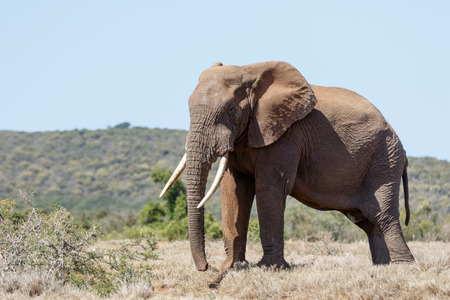 Bush Elephant standing in the field with his big tusk. Stock Photo
