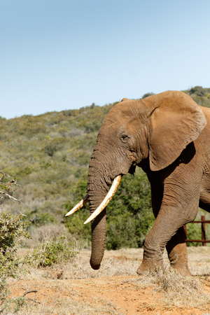 Elephant walking towards the bushes in the field. Stock Photo
