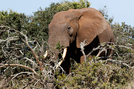 Side view of the Bush Elephant standing behind the branches in the field.