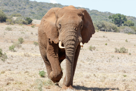 African Bush Elephant Coming Closer and Closer. Stock Photo