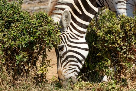 Burchells Zebra Eating Grass Stock Photo