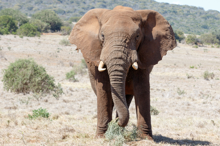 The African Bush Elephant Eating Grass in a field. Stock Photo