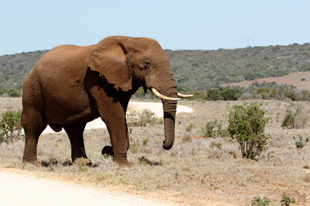 Bush Elephant Standng for a photo.