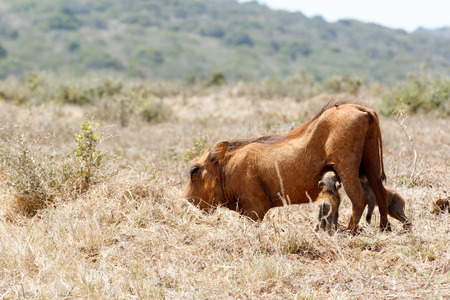 Warthog drinking from mom in a field