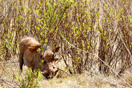 Warthog hiding in the bushes