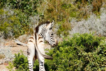 Looking lost The Baby Burchells Zebra Stock Photo