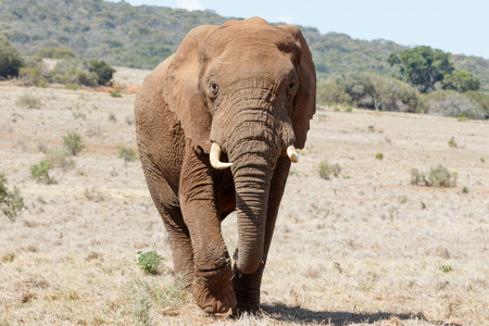 The Huge African Bush Elephant Stock Photo