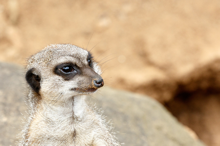 Meerkat standing on a rock and staring in a distance . Stock Photo