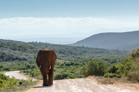 Bush Elephant coming from the fields with shades of mountains in the background.
