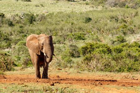Bush Elephant enjoying her water at the watering hole. Stock Photo