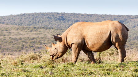 Black Rhinoceros eating grass in the field Stock Photo