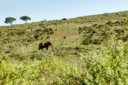 Bush Elephant walking uphill in the big field.