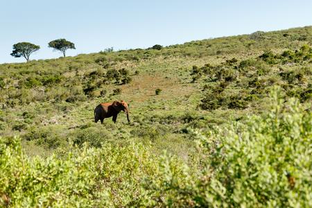 Bush Elephant walking uphill in the big field.