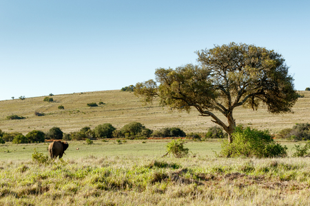 Bush Elephant watching the warthog in the field. Stock Photo
