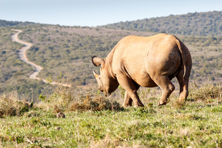 Black Rhinoceros horn showing the path to the mountains. Stock Photo