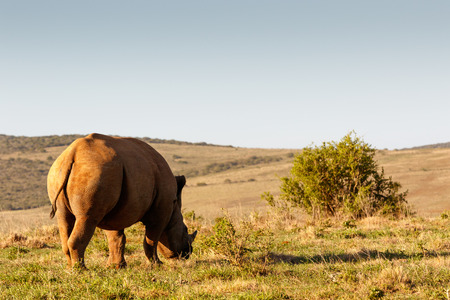 Side view of a Black Rhinoceros eating grass in the field.