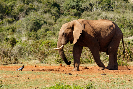 Bush Elephant staring at the bird at the watering hole. Stock Photo