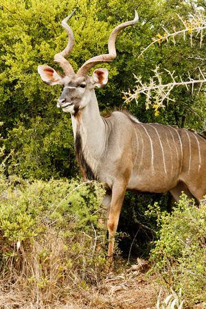 Side View of a Greater Kudu in the bushes. Stock Photo
