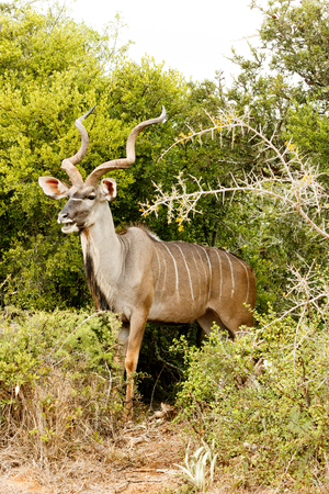 The Greater Kudu is a woodland antelope found throughout eastern and southern Africa. Despite occupying such widespread territory, they are sparsely populated in most areas. Stock Photo