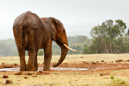 Bush Elephant standing sideways at the watering hole. Stock Photo
