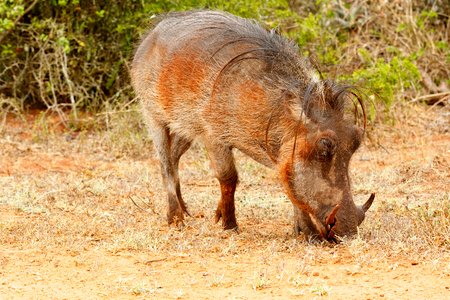 Side view of a common warthog eating grass in the field.