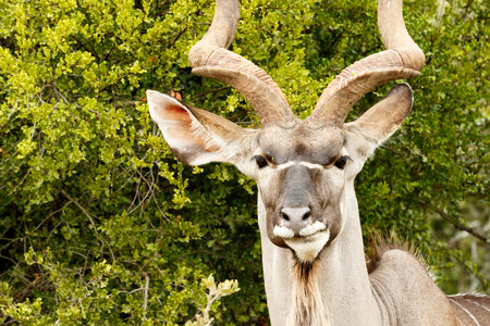 Headshot of a Greater Kudu in the bushes.