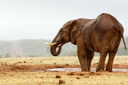 Bush Elephant with his feet in the dam by the watering hole.