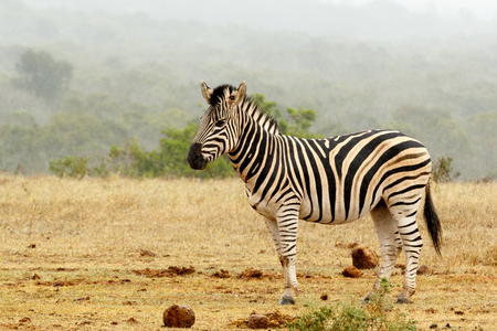 Burchells Zebra standing and waiting at the watering hole.