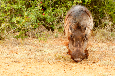 Front view of a common warthog in the field.