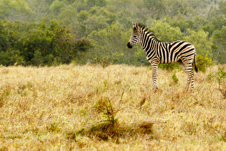 Baby Zebra standing in the field of grass.