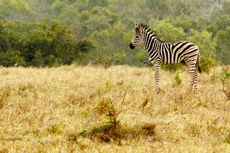 Baby Zebra standing in the field of grass.