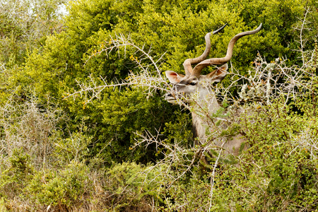 Greater Kudu standing and hiding behind the thorny bushes.