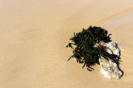 Green seaweed on the sand on the beach. Stock Photo