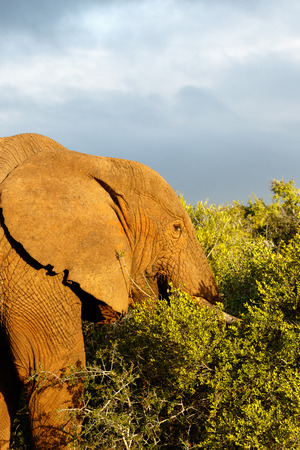 Elephant with his head in the bushes in the field.