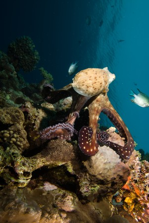 Reef octopus (Octopus cyaneus) foraging on the coral reef in the early morning. Red Sea, Egypt