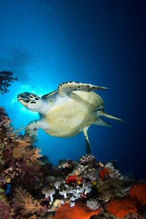 Echte Karettschildkr�te (Eretmochelys Imbricata), gef�hrdet, am fr�hen Morgen �ber das Korallenriff schwimmen. Rotes Meer, �gypten. Lizenzfreie Bilder