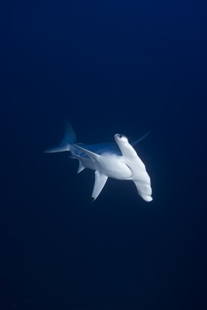 Front view of a  Scalloped Hammerhead shark (Sphyrna lewini), endangered, in deep water. Jackson Reef, Straits of Tiran, Gulf of Aqaba, Red Sea, Egypt. Stock Photo