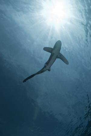 Unten Blick auf ein jugendliches weibliche Hochseehai (Carcharhinus Longimanus) Swimming nah an Oberfl�che, gef�hrdet. Sharm El Sheikh, Rotes Meer, �gypten. Lizenzfreie Bilder