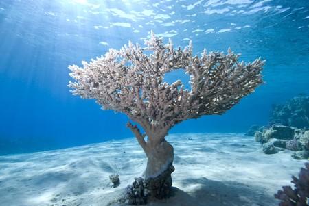 Wide Angle View einer einzelnen Tabelle Koralle (Acropora Pharaonis) auf dem sandigen Meeresboden mit blauem Hintergrund und Sonnenstrahlen. Ras Mohammed Nationalpark Red Sea, �gypten. Lizenzfreie Bilder