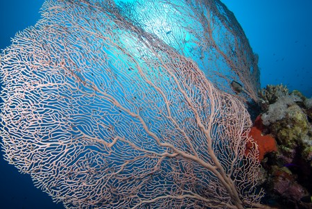 Giant sea fan (Annella mollis). Red Sea Egypt Stock Photo - 7899167