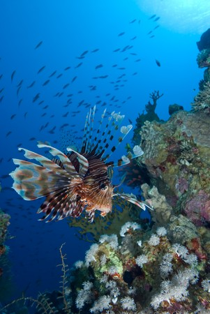 Common lionfish (Pterois miles), low wide angle view  of one adult over coral reef. Gulf of Aqaba, Red Sea, Egypt.
