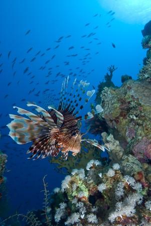 Gemeinsame Feuerfische (Pterois Miles), niedrige Weitwinkel Blick auf einen Erwachsenen �ber korallenem Riff. Golf von Aqaba, Rotes Meer, �gypten.
