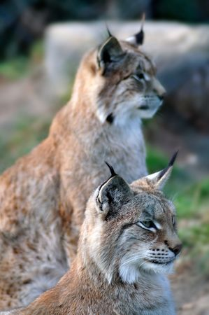 catlike: A pair of Lynxes survey the hunting situation