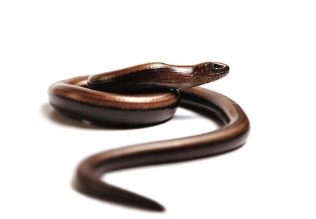 Snake on the hunt, but in fact it is a slow worm found in Europe. Looks like a snake but can close its eyes. photo