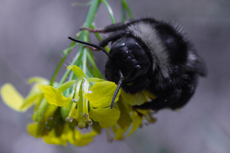 bumble bee on a flower Stock Photo