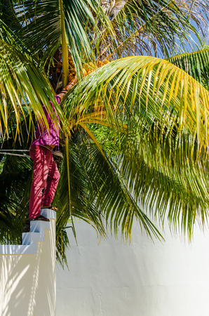 Huraa, Maldives - November 20, 2017: A local man tearing off a coconut from a palm tree, standing on a stone fence of his house, Kaafu Atoll, Kuda Huraa Island, Maldives