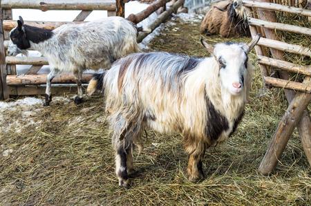 Goats on the barnyard, close-up, selective focus, Ukraine