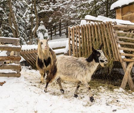 Goats in the village, farm, Ukraine